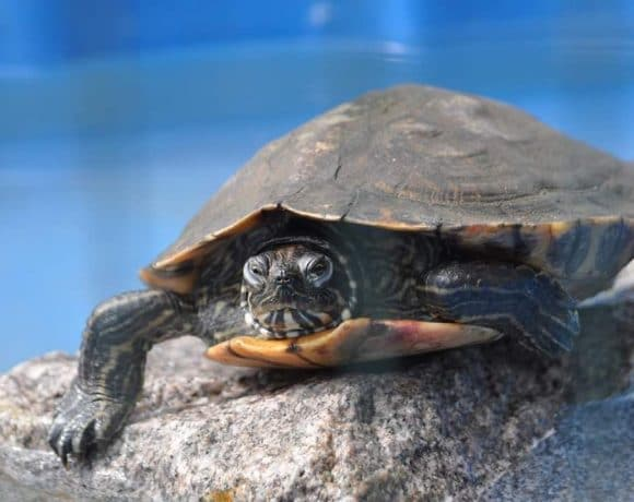 Wasserschildkröten