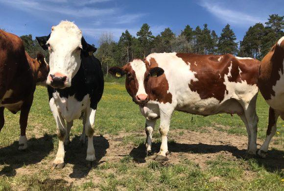 Kühe und Ochsen